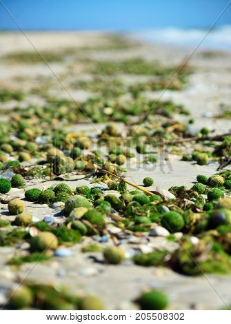 Aegagropila linnaei a kind of green algae from the cladophoraceae family on the sandy Black Sea beach Ukraine