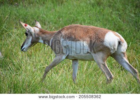 Elegant Deer Roaming Around In A Zoo