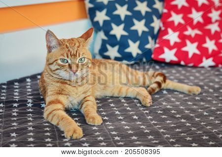 Cute Red Cat Lying On Sofa
