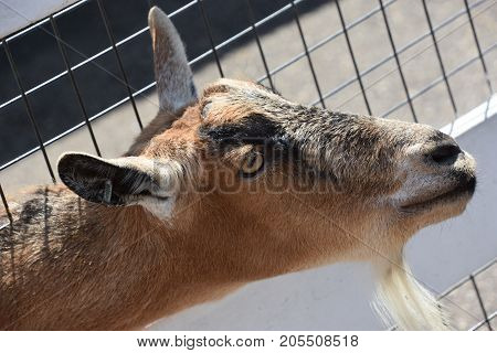 Domestic Goat On A Farm In A Zoo
