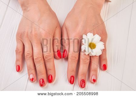 Well-groomed female hands with chrysanthemum. Young woman gentle manicured hands with white chrysanthemum flower, white wooden background. Delicate female hands and manicure.