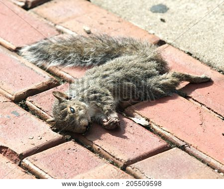 Dead eastern gray squirrel on red brick sidewalk