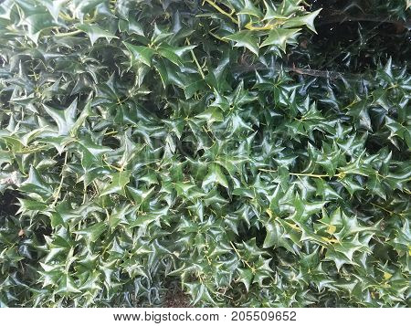 a very sharp and spiky green holly bush