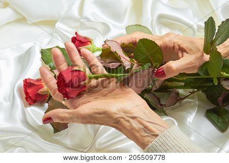 Red rose in senior woman hands. Old woman hands with red manicure holding beautiful red rose on white silk background.