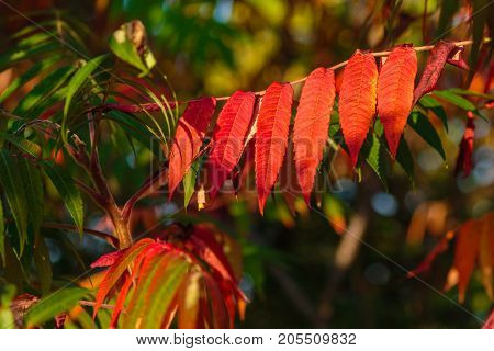 Sumac (anacardiaceae) leaves turned red in autumn