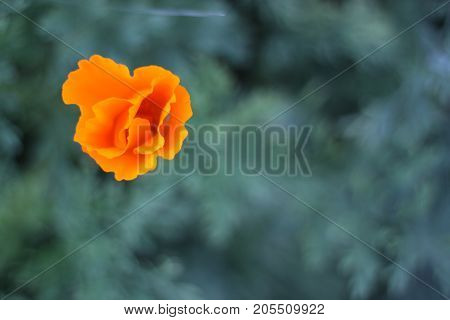 Abstract Poppy with Shallow Depth of Field