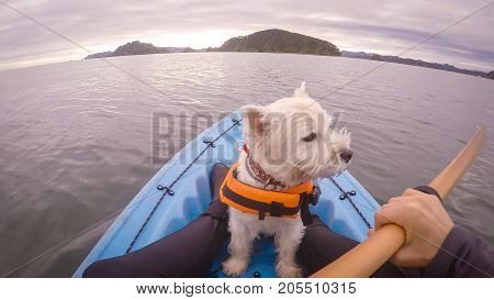 West highland white terrier westie dog wearing life jacket kayaking in Paihia Bay of Islands New Zealand NZ