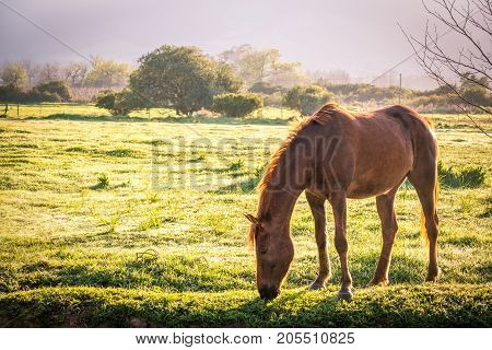backlit soft image of a lone bay brown coloured horse in a green grass field with dew on the ground at sunrise