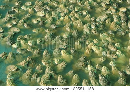 Large group of frog in a farm