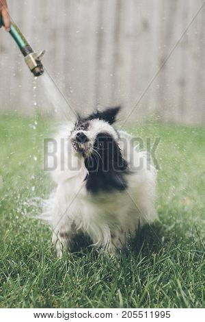 a dog getting a bath with a hose.