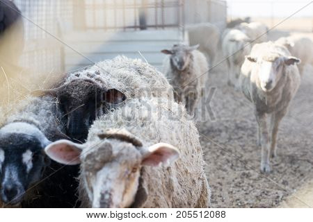 Close-up of a flock of sheep sprinkled with hay selective focus