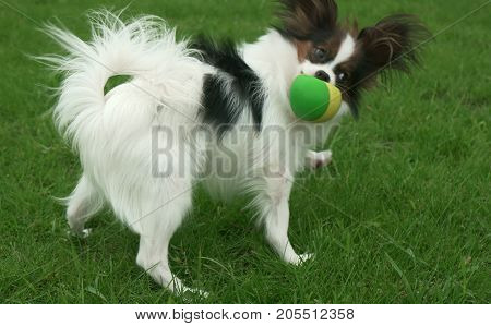 Beautiful young male dog Continental Toy Spaniel Papillon playing with ball on a green lawn