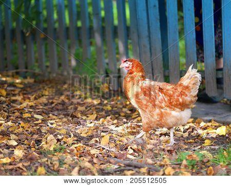 Photo of an orange beautiful chicken on autumn leaves