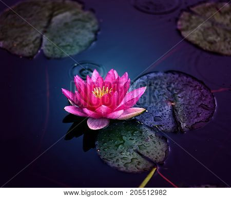 Photo of bright pink water lily in the pond