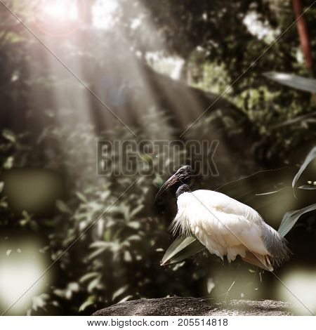 Black headed ibis bird find food on the rock with sunlight