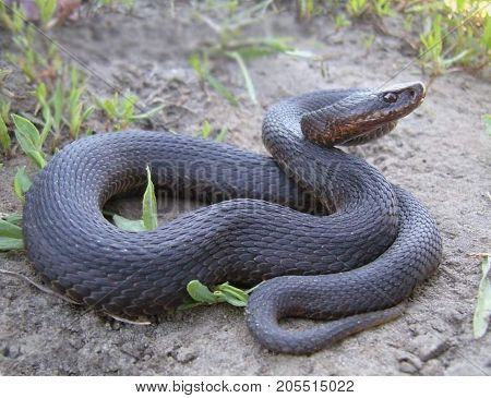 The adder usually has a body length of 60 -- 80 cm Rarely, a large snake, with a length of over 1 meter and weighing about 500 g. These large vipers are more in the North than in the South. Most of their body length about 75 cm, Males smaller than females