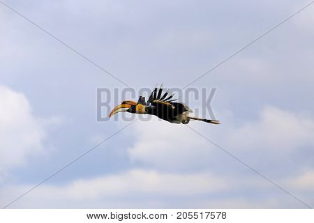 Great hornbill (Great indian hornbill Great pied hornbill) on the tree, Thailand.