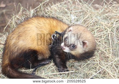 beautiful,fluffy the ferret lies curled  on straw