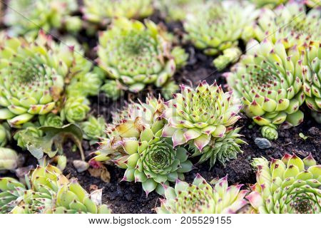 Sempervivum is flowering plant in the Crassulaceae family commonly known as houseleeks. They are succulent perennials forming mats composed of tufted leaves in rosettes.
