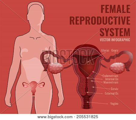 Female reproductive system. Vector illustration isolated on a pink background.