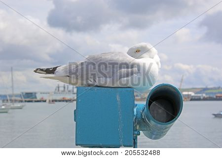Seagull perched on a telescope in Falmouth