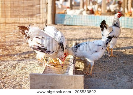 Chickens eat a forage on an organic poultry farm.