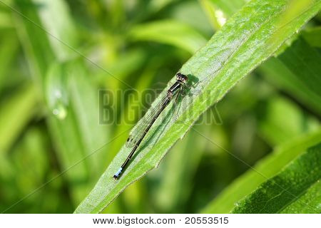 Eastern Forktail Damselfly male