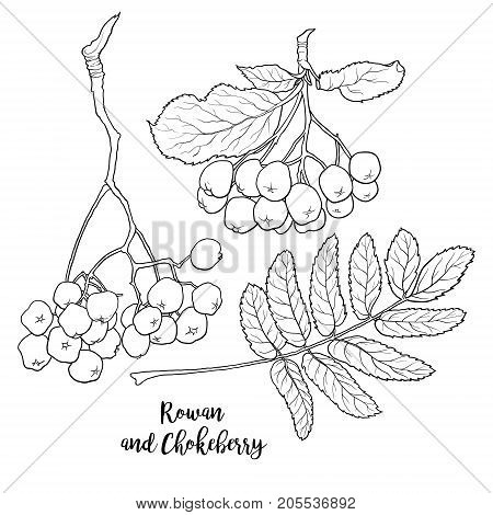 Hand drawn black and white chokeberry, rowan berries and leaf, sketch style vector illustration isolated on white background. Hand drawn rowan and chokeberry, berries and leaves