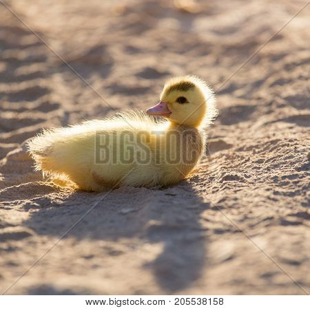 little duckling in nature . In the park in nature
