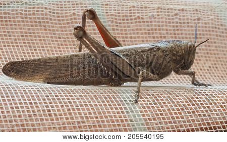 Grasshopper Insect Animal