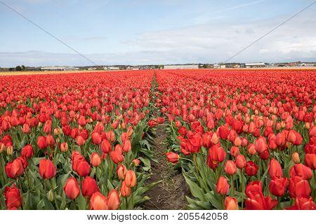 Tulip fields of the Bollenstreek South Holland Netherlands