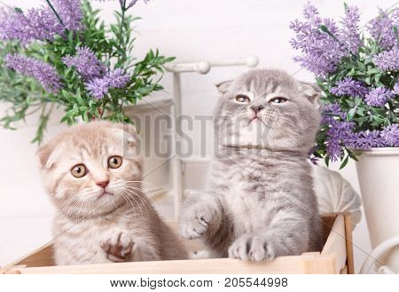 Interesting Scottish kittens. Research of new territories. Thoroughbred cats. Couple fold cats Lavender flowers in the background. Beautiful as wallpaper