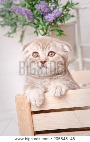 Scottish fold cat in a wooden box under flowers. Selective focus