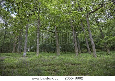 Oak woodland on the side of Catbells Ullswater the Lake District Cumbria England.