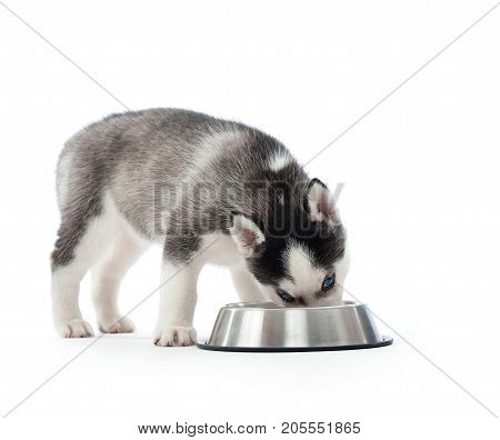 Shot of a little cute husky puppy eating his food from a bowl isolated on white.