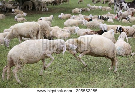 Sheep With Woolen Veil Clash Headlong