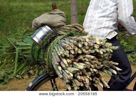 Sugar cain India