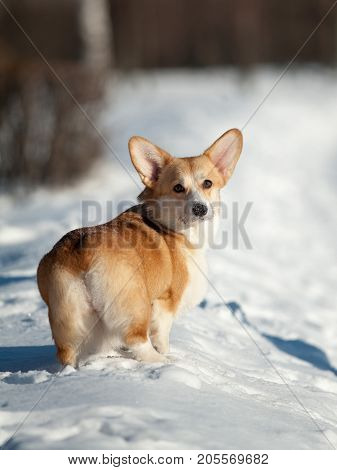 welsh corgy dog in a winter turning back