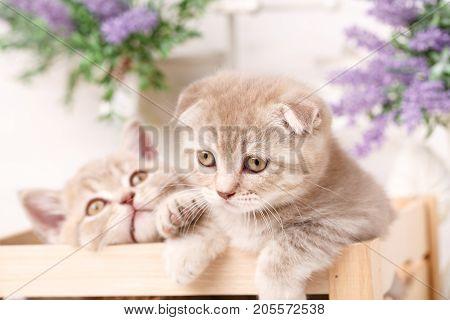 Two little red scottish fold kitten in wooden box