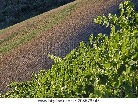 Country landscape between Riolo Terme and Brisighella (Ravenna Emilia Romagna Italy) at summer. Vineyards