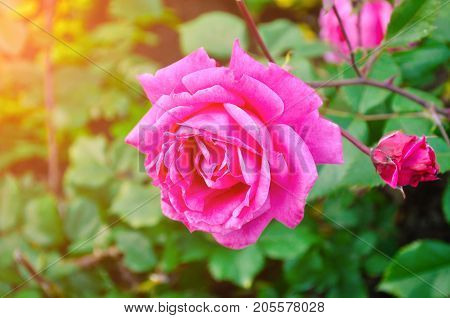 Flower background with rose flower, closeup view. Shallow DOF. Pink rose flower in the rose garden. Natural flower background with rose flower in soft sunlight. Flower background. Pink rose flower, closeup