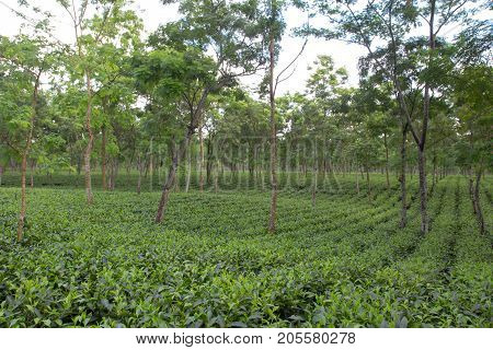 Indian tea plantation in the Darjeeling at cloudy weather