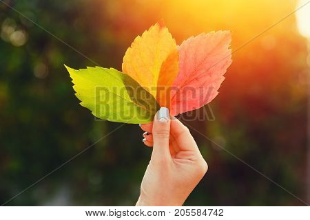 Girl in hand holds Three autumn leaves green, yellow, red. Against background glare of sun