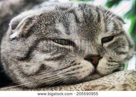 sad look of the Scottish fold cat. portrait