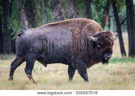 American Bison Bull in Colorado. This Bull is a Genetically Pure Speciman.