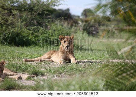 Lion Wild Dangerous Mammal Africa Savannah Kenya
