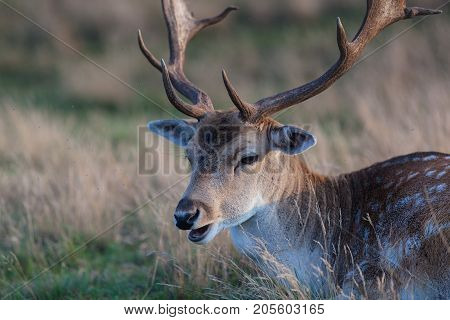 Eurasian deer with branched palmate antlers. Poland Europe.