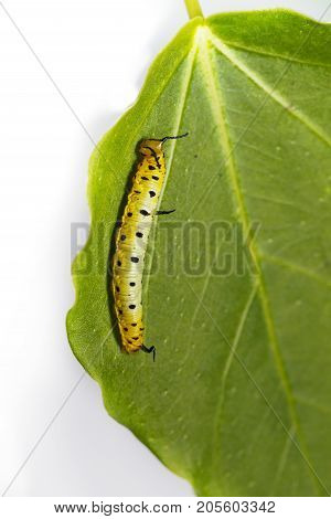 Caterpillar Of Common Maplet Butterfly Hanging On Leaf Of Host Plant