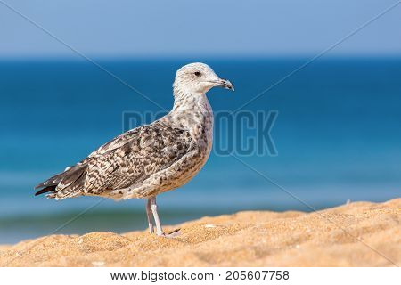 Young juvenile brown seagull on beach with blue sea