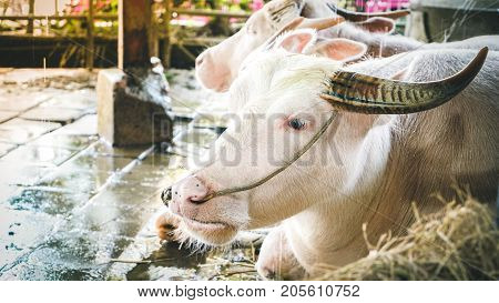 Two Asian Albino Buffalo Or White Buffalo Sitting In Indoor Farm. Albino Buffalo Chain With Robe Res